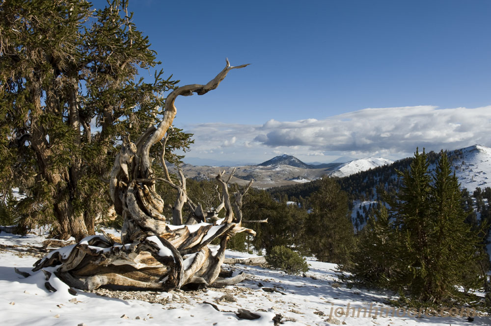 187 Ancient Bristlecone Pine Forest John H Moore Photography