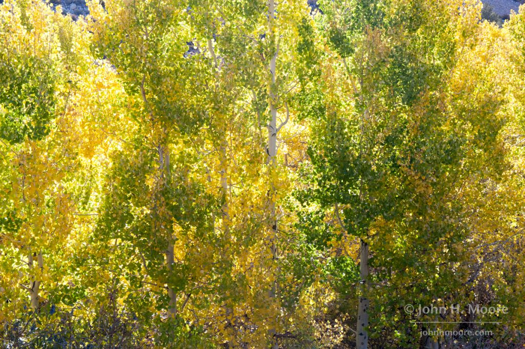 Mixed yellows and greens in a stand of aspens just turning color.