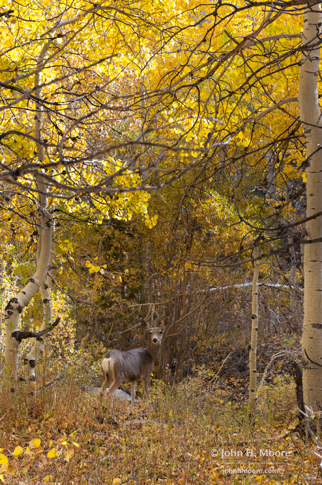 A deer in the woods along a the walking path at Carindal Village Resort in Aspendell.