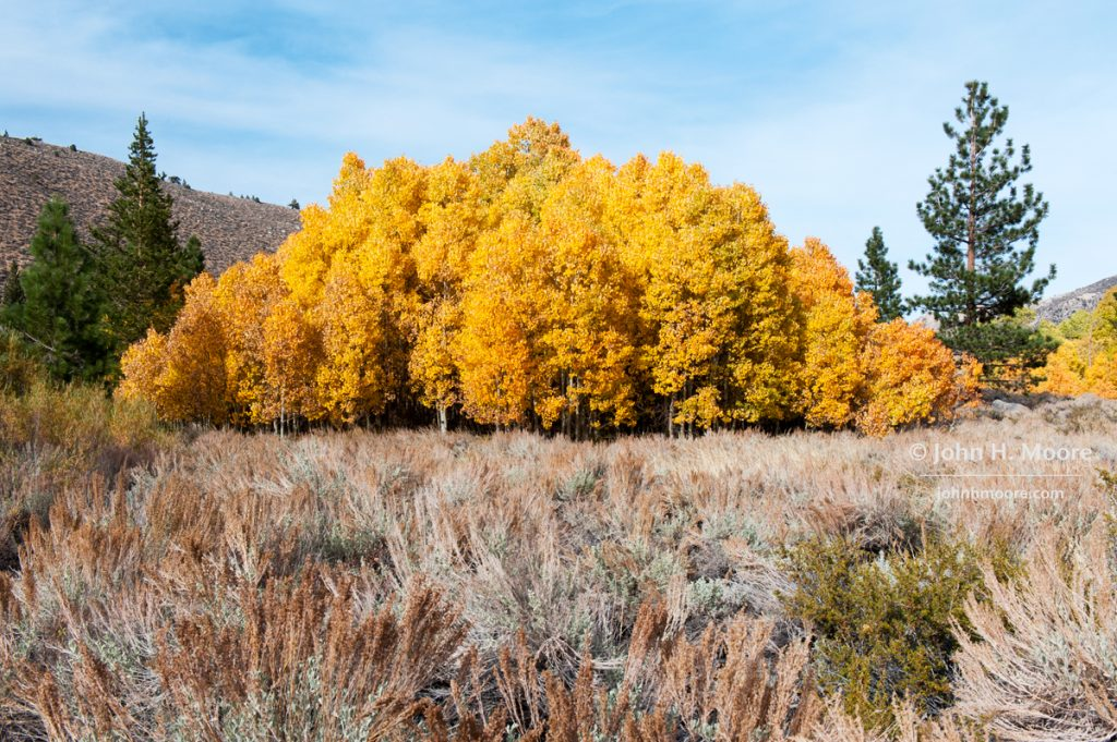 A small grove of just-past-peek aspens, all in orange, just outside of Aspendell.